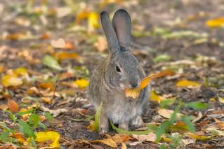 Wild Rabbit - D800-10-29-17DSC_8050_846