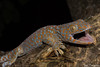 Tokay Gecko (Gekko gecko) (Jari Cornelis) Tags: jari cornelis canon 700d macro 60mm bali indonesia herp herps herping herpetofauna natgeo ngc wild wildlife tokay gecko gekko reptile lizard nature