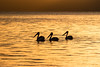 897408.jpg (David Hamments) Tags: littlebeach pelicans nelsonbay silhouette sunset nsw flickrunitedaward