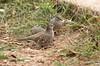 Scaled Dove (helmutnc) Tags: hennysanimals specanimal