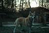 Beware of the Dog (Jethro_aqualung) Tags: cane dog via degli dei bofi nikon d3100 nature animal wood sunset tramonto