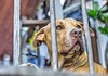 conan4 (juankos810) Tags: conan perro mascota pitbull amstaf animal canino dog