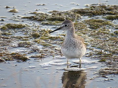 LEYE_2017 (Surfishrink) Tags: northcarolina wildlife lesseryellowlegs tringaflavipes peaisland outerbanks