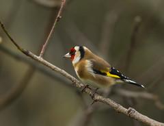 European goldfinch (Bojan Žavcer) Tags: goldfinch cardueliscarduelis bird animal wildlife nature canoneos7dmarkii ef600mmf4lisusm greatphotographers