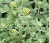 Plants_OB_364 (NRCS Montana) Tags: alyssum alyssoides pale madwort plants