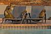 Lounging by the pool (NettyA) Tags: 2017 africa botswana capebaboon chobebushlodge chobenationalpark papioursinus chacmababoon swimmingpool travel wildlife baboonssittingonpoolchairs