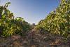 tenute_Lombardo_vini14 (walterlocascio) Tags: vendemmia sicilia sancataldo tenutelombardo reportagevendemmiasiciliana vinosiciliano viti vigne