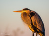 Great Blue Heron 003 (RRcoleJR Photography) Tags: ardher animalia ardea ardeaherodias ardeidae aves beautiful bird blue chordata gbhe galveston galvestonbay galvestonisland gold greatblueheron gulfofmexico jeep log nature pelecaniformes sunset texas usa water wildlife wood yellow avian bay beach fullbody golden goldenhour goldenlight gulf heron intense launch ocean peace peaceful perch perched perching pole port profile saltwater seaside seawater ships side sideview sideways sunrise takeoff waterbird woodpole woodenpole zen