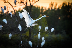 back lit flight (Christian Collins) Tags: canoneos5dmarkiv ef100400mmf4556lisiiusm bird egret whiteegret snowyegret greategret poseyville wetlands midland mi michigan sunset evening flight backlit flying