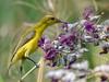 Juvenile olive-backed sunbird (Robert-Ang) Tags: sunbird olivebackedsunbird bird animal wildlife nature jurongecogarden singapore watercanna swamplily alligatorflag
