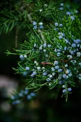 Blue and Green (allie.hendricks.photography) Tags: month newyork plant 2017 juniper tree season nature newwindsor camera year nikond5100 unitedstates fall october world