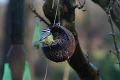 On a swing (In Explore) (Steenjep) Tags: fugl bird foder food have garden eurasianbluetit cyanistescaeruleus blåmejse