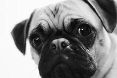 Pug Portrait (sixleggedphotography) Tags: pets portrait dog puppy pug