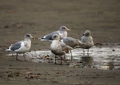 Hanging Out By The Pool_8700 (Mike Head - Jetwashphotos) Tags: gulls spanishbanksbeach englishbay vancouver bc britishcolumbia canada westerncanada westernregion