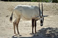 Arabian Oryx (Oryx leucoryx) (ACEZandEIGHTZ) Tags: oryx leucoryx antelope nikon d3200 miami miamimetro zoo zoomiami dadecounty arabian peninsula desert steppes