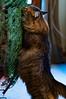 Christmas Tree Inspector #19 (backbeatb00gie) Tags: 2017 behavior cat christmas d5000 elsie furry home long nikon pet