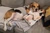 oh Cooper (tracyjuang) Tags: beagle cooper dog paul paulanka paulandcooper