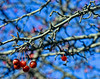 Winter Cherries?..HBW! (✈Busy-Off To Canada Today!✈) Tags: bokeh bokehwednesdaytoo bokehwednesdays tree branches cherries red fruit hanging small