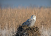 Snowy Owl (Nick Scobel) Tags: snowy white snow owl bubo scandiacus winter michigan irruption migration invasion majestic feathers pattern flight take off