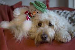 49/52 ... A snowman hug (Chickpeasrule) Tags: evie goldendoodle snowman toy resting sofa 52weeksfordogs hug