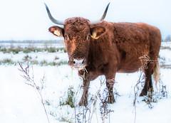 Snow fun (Ingeborg Ruyken) Tags: ochtend morning rodegeus 2017 empel sneeuw dropbox dawn koe 500pxs natuurfotografie cow december flickr snow