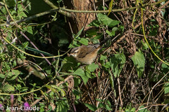 Acrocephalus schoenobaenus - Sedge Warbler (bollejeanclaude) Tags: photos oiseaux passeraux insectivores phragmitedesjoncs nature birds vogels geer wallonie belgique be
