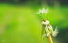 Balancing between holding on and letting go (babs van beieren) Tags: dandelion 7dwf wednesday closeup macroorcloseup