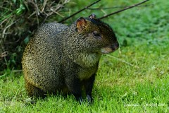 Sitting for a Portrait (Holfo) Tags: birmingham naturereserve sellypark mammal ears eyes nikon d750 animal grass