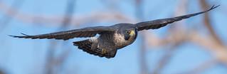 Peregrine Falcons of Alpine | 2107 - 17 [EXPLORED]