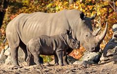 white rhino Burgerszoo BB2A6552 (j.a.kok) Tags: rhino rhinocerosunicornis neushoorn witteneushoorn breedlipneushoorn whiterhino animal africa afrika burgerszoo mammal herbivore zoogdier dier wiesje izala rhinoceros