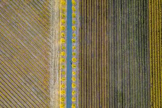 Lines  of Vineyard - Napa Valley, CA