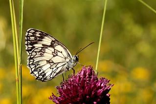 1N6A5069. Papillon demi deuil
