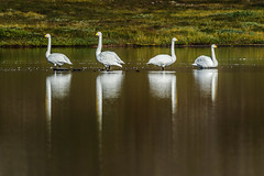 BlickRichtung (Panasonikon) Tags: panasonikon nikond5100 nikkor55300 island iceland schwan schwäne wasser see lake spiegelung links rechts blickrichtung zweipaar reflexion