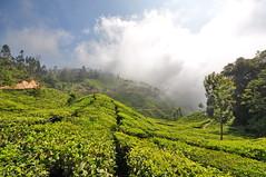 India - Kerala - Munnar - Tea Plantagen - 214 (asienman) Tags: india kerala munnar teaplantagen asienmanphotography