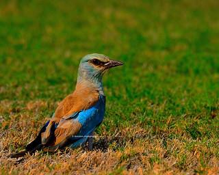 European Roller - Wildlife Oman (Explored 18 Nov 17)