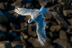 In the spotlight (bodro) Tags: bolsachica bird birdinflight birdphotography brightlight deepshadow dive ecologicalreserve shallows tern wetlands