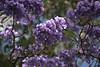2017 Sydney: Jacaranda Flowers in the Sun (dominotic) Tags: 2017 flowers jacarandatree purple inthesky jacarandaflowersinthesun bluesky sydney australia