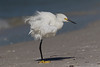 ...and that stylist came highly recommended! (Gary McHale) Tags: snowy egret north beach de soto fort coth5