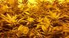20150419_101654 (CannaPsy) Tags: hydroponics flood drain indoor medical cannabis marijuana weed horticulture high pressure sodium hps og