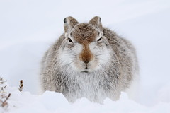 Mountain Hare - Scottish Highlands (Ally.Kemp) Tags: mountain hares hare scotland white winter snow highland highlands