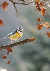 Blue Tit (Inka56) Tags: 7dwf macroorcloseup closeup songbird bird tit bluetit leaves tree bokeh hbw