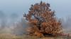 Trees in the mist (Milen Mladenov) Tags: 2017 bulgaria d7200 landscape montana autumn fog foggy haze hazy leafs mist misty nature nikond7200 orange tree view weather