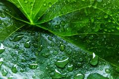 Rain (Feriel. L) Tags: winter drops green december leaves macrophotography leaf waterdrops 2017 dof texture rain light