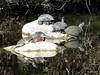 Sunbathing At Turtle Pond (sweetdaddyroses/aka/SDR) Tags: arboretum arcadiaca botanicalgarden bird green heron turtle turtlepond outdoors