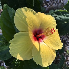 Yellow Hibiscus with shiny red center and shadow (jungle mama) Tags: yellow red stamen shadow tropicalshrub hibiscus malvaceae sunrays5 ngc