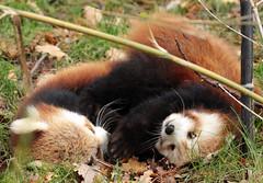 red panda Blijdorp BB2A5928 (j.a.kok) Tags: panda redpanda rodepanda kleinepanda animal blijdorp china asia azie mammal zoogdier dier blijdorpzoo