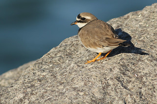 Bontbekplevier - Charadrius hiaticula - Common Ringed Plover
