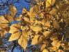 Cylburn Arboretum ~ Beech gold (karma (Karen)) Tags: baltimore maryland cylburnarboretum parks leaves gold beech dof bokeh cmwd topf25