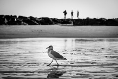 The Three Stooges and a Seagull (Nicholas Erwin) Tags: hamptonbeach seagull gull bird animal wildlife beach ocean water travel people sand blackandwhite monochrome bw nikon d610 nikkor 70200f4vr contrast moody hampton newhampshire nh unitedstatesofamerica usa friends fav10 fav25 fav50