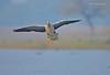 Coming for a Landing... (Anirban Sinha 80) Tags: nikon d610 fx 500mm f4 ed vrii n g bokeh bird goose landing beak wing